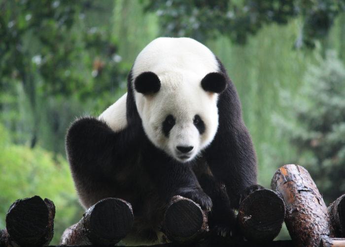 Wahrzeichen von China – ein Panda Bär.
