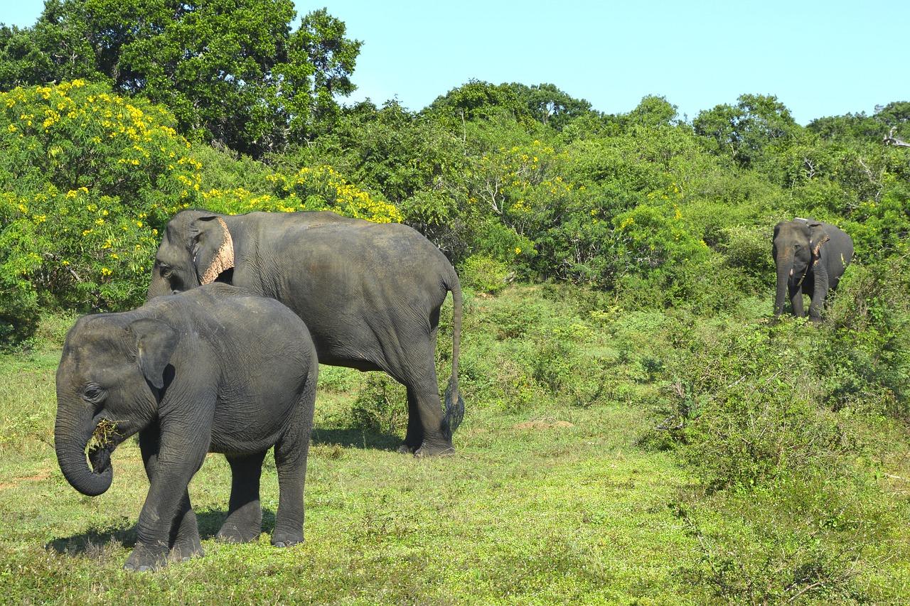 Elefanten gehören zu Sri Lanka wie der Strand, der Dschungel und aloe vera massagen.